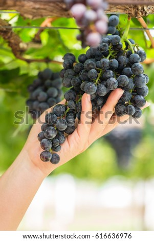 Black grape fruits in vineyards with woman hand #616636976