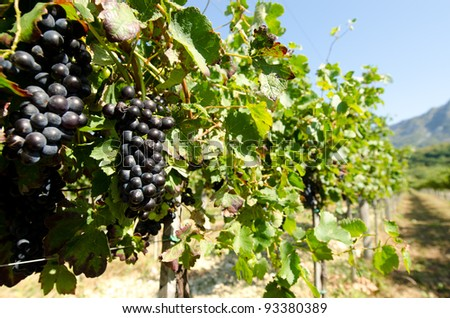 Black grape in vineyard before harvest