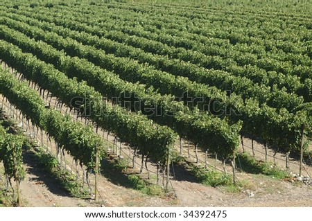 black grape vineyards in the central valley of Chile