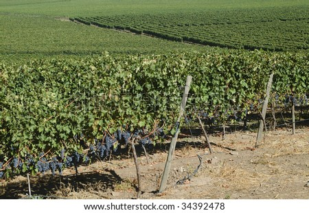 black grape vineyards in the central valley of Chile - stock photo