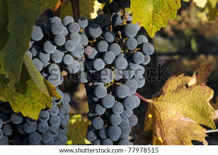 black grapes bunch ready for harvest