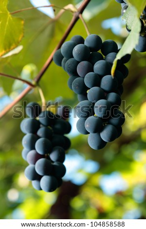 Black grapes growing on the vine