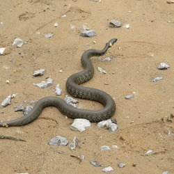 Black grass-snake slithering on the sand