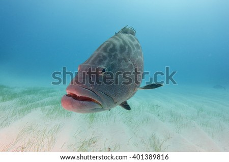Stock Photo Black Grouper in the Bahamas