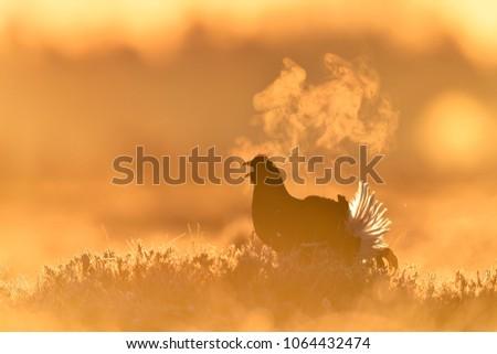 Black grouse calling at sunrise in moor. Black grouse lek. Blackcock. Bird at sunrise.