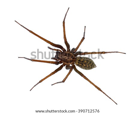 Black hairy house spider (Tegenaria domesticus) on white background