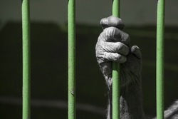 black hand of a chimpanzee monkey holding the green grid of his cage. Concept for captivity of wild animals, animal welfare and cruelty to animals