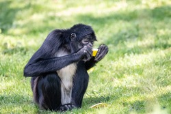 Black-handed spider monkey eating sweet yellow melon. Geoffroys spider monkey (Ateles geoffroyi) sitting on green grass with ripe juicy fruit in hands.