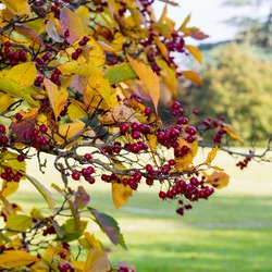 Black hawthorn branch with leaves and red fruit - Crataegus douglasii with green background