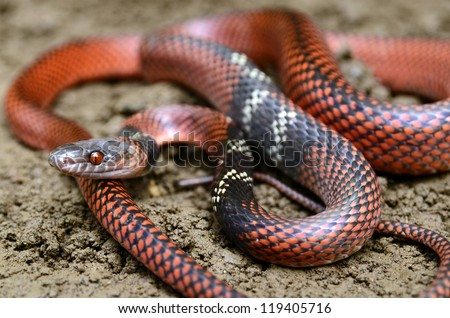 Black-headed calico snake (Oxyrhopus melanogenys)