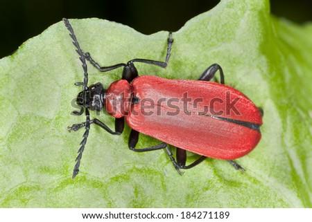 Black headed cardinal beetle, Pyrochroa coccinea on leaf