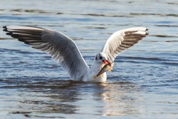 Black-headed gull, Chroicocephalus ridibundus, catching a fish out of the water