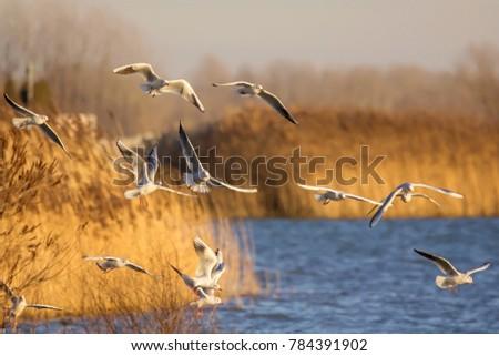 Black-headed gull (Chroicocephalus ridibundus) flock catching fish on the lake, gulls in flight #784391902