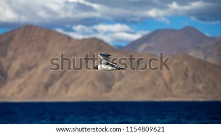 Black-headed gull (Chroicocephalus ridibundus), Flying Gull, Black headed Gull - Chroicocephalus ridibundus / Black headed Gull flying under a blue sky - Shutterstock ID 1154809621