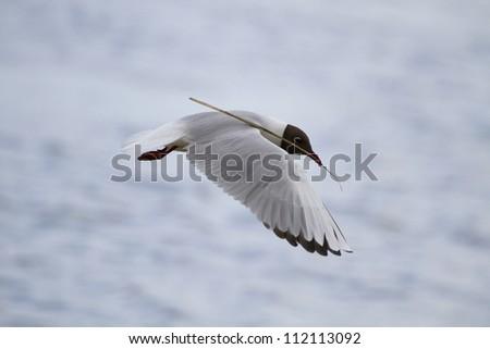 Black-headed Gull (Chroicocephalus ridibundus) in flight, carrying nest material in its beak