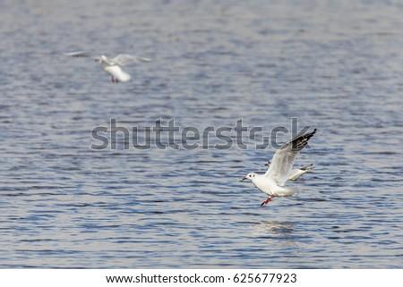 Black-headed gull (Chroicocephalus ridibundus). Photographed on a lagoon, in the natural park of Cornalvo. Extremadura. Spain.