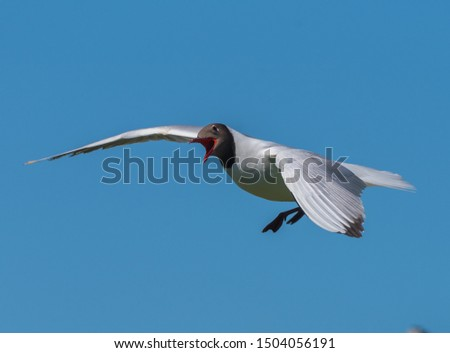 Black-headed gull, common, numerous bird nests in large colonies in various water bodies.