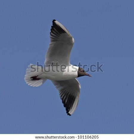 Black-headed gull flying on the blue sky