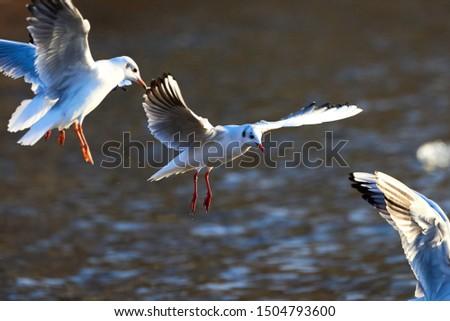 Black Headed Gull in Flight ( Larus ridibundus  ) Closeup in Winter Plumage