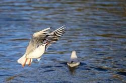 Black-headed gull in winter plumage in Kelsey Park, Beckenham, Greater London. Gull in flight over the lake trying to catch bread. Black-headed gull (Chroicocephalus ridibundus), UK.