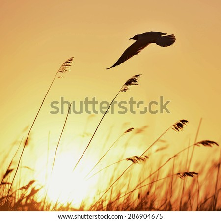 Black-headed Gull (Larus ridibundus) flying on sunset natural background