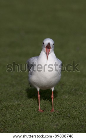 Black headed gull (Larus ridibundus) yawning