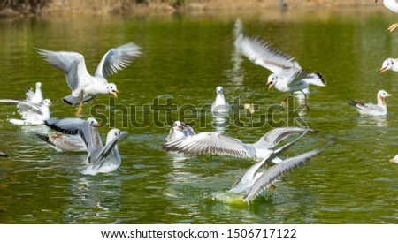 Black-headed gull,  numerous bird nests in large colonies in various water bodies.