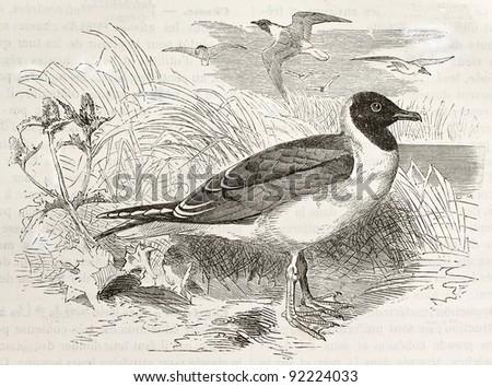 Black-headed Gull old illustration (Chroicocephalus ridibundus). Created by Kretschmer and Wendt, published on Merveilles de la Nature, Bailliere et fils, Paris, ca. 1878