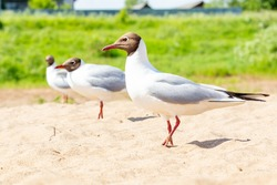 Black-headed Gull, River Gull, Chroicocephalus ridibundus. A group of birds on the beach. River coast. Bird watching, ornithology. A seagull is looking at the camera. Selective focus