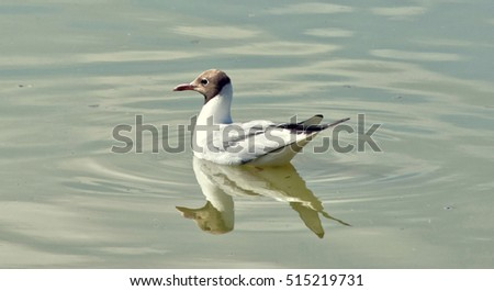 Black headed gull. Seagull floats in a lake. Larus ridibundus. Beautiful seagull close up. Wonderful migrant birds. Wildlife. Beautiful seascape in pastel tones.