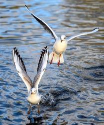 Black-headed gulls in winter plumage in Kelsey Park, Beckenham, Greater London. Gulls flying towards us over the lake with upper gull in focus. Black-headed gulls (Chroicocephalus ridibundus), UK.