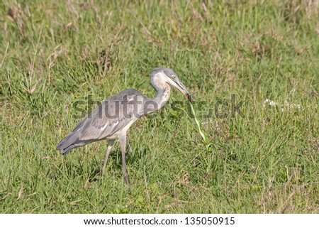 Black-headed Heron (Ardea melanocephala) swallows up green snake catch in grass. Ngorongoro Crater, Tanzania, East Africa.
