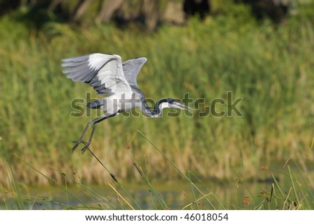 Black-headed heron taking off  in search of food with blurred reeds in the background