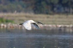 Black Headed Ibis Bird Is Flying Over The Wetland