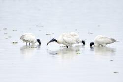 Black Headed Ibis Birds Are Feeding On The Wetland