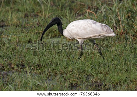 Black-headed ibis, Keoladeo Ghana National Park, India