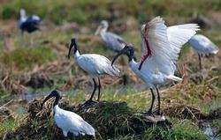 black-headed ibis(Threskiornis melanocephalus), also known as theOriental white ibis  andblack-necked ibis, is a species of wadingbirdof theibisfamily Threskiornithidae.