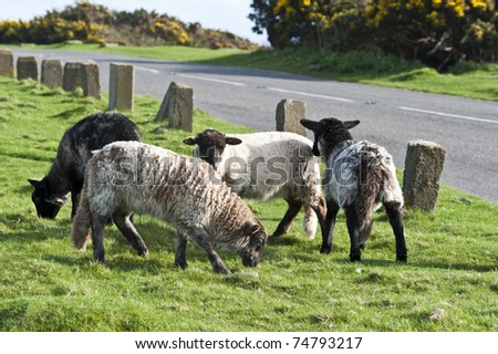 stock photo   black headed mountain sheep with long tails