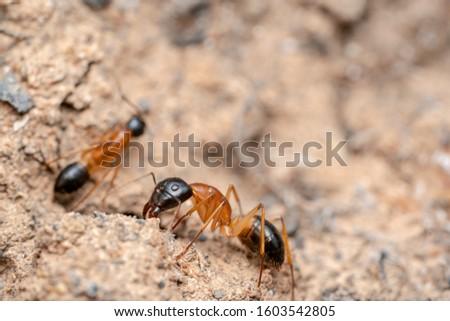 Black headed orange sugar ant - trippy perception/3D perception