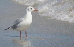 Black-headed seagull standing on seashore