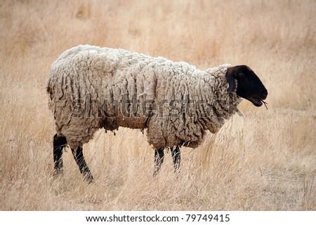 Black Headed Sheep Standing in Brown Grasses