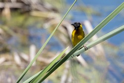 Black-headed Weaver, male, perched on a reed, Ria Formosa Nature Park, Algarve, Portugal.