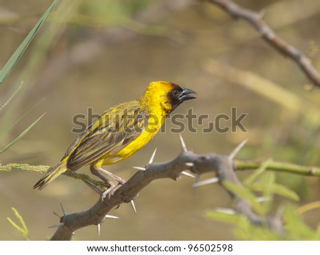 Black-headed weaver, Ploceus cucullatos