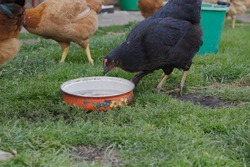 Black hen drinking water from an old pot. Green grass. Countryside scene.