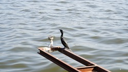 Black Heron bird sitting on a river side pole