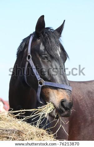 Black horse eating hay