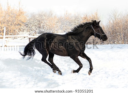 Black horse gallop in winter sunset