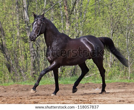 black horse in motion, against a background of spring green