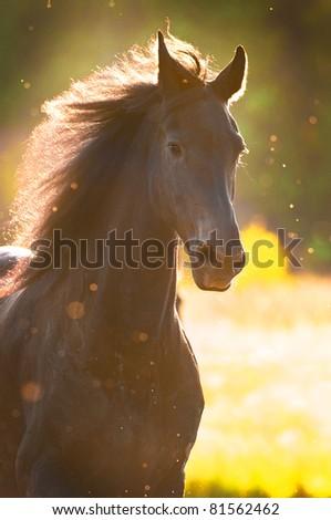 Black horse in sunset golden light portrait