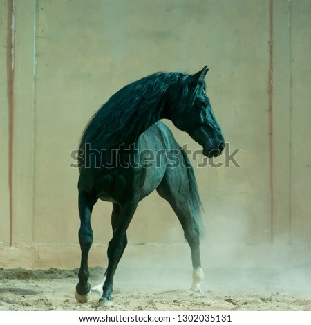 Black horse in the indoors manege